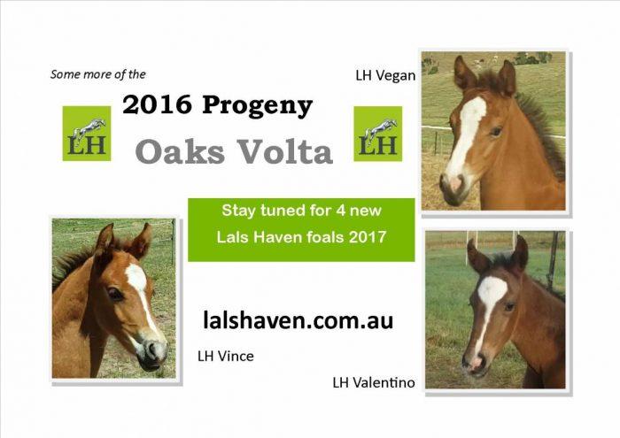 Oaks Volta foals season 2016