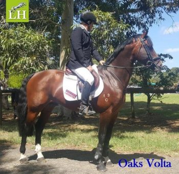 Oaks Volta waiting patiently for the jump off