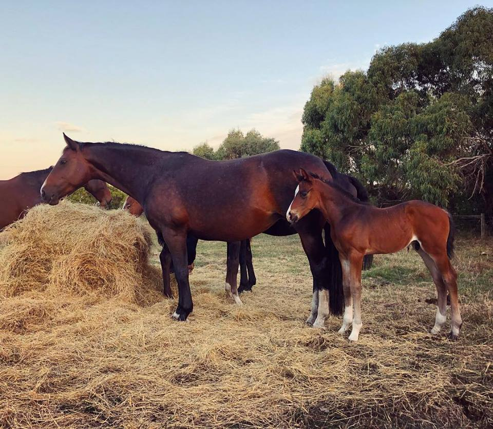 Tarwin Grove Floriana (Fidertanz/Accimedes) with her baby Tarwin Grove Vincetta (by Oaks Volta)